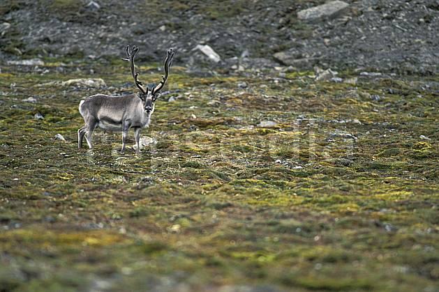 ec2784-22LE : Renne arctique à Treskelodden (S), Svalbard, Ile du Spitzberg.  Europe, CEE, herbe, C02, C01 faune, voyage aventure (Norvège).