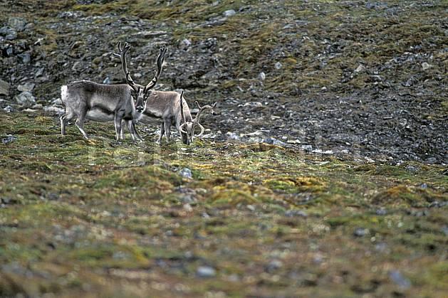 ec2784-25LE : Rennes arctiques à Treskelodden (S), Svalbard, Ile du Spitzberg.  Europe, CEE, herbe, C02, C01 faune, groupe, voyage aventure (Norvège).