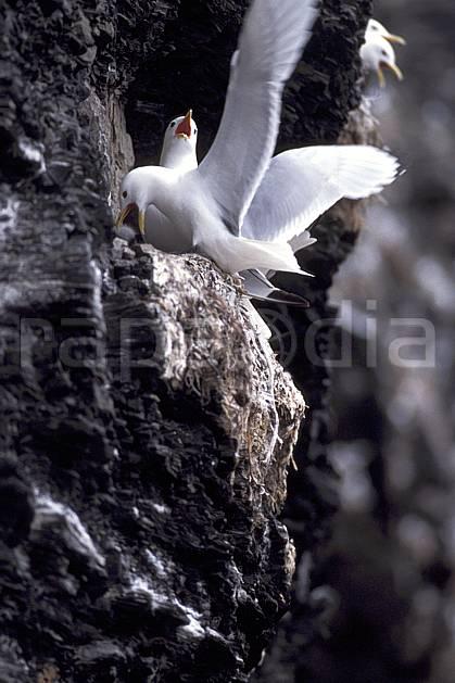 ec2785-08LE : Mouettes arctiques (Kittiwakes) à Discobukta, Svalbard, Ile de EdgeØya (E).  Europe, CEE, oiseau, C02, C01 faune, voyage aventure (Norvège).
