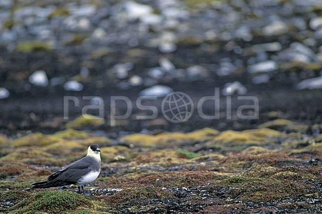 ec2788-05LE : Labbe parasite à Treskelodden (S), Svalbard, Ile du Spitzberg.  Europe, CEE, oiseau, C02, C01 faune, voyage aventure (Norvège).