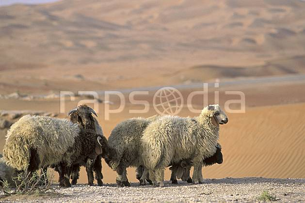 ec2836-21LE : Mouton.  Afrique, Moyen Orient, mouton, C02, C01 désert, faune, groupe, voyage aventure (Arabie-Saoudite).