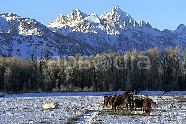 ec2940-27LE : Cheval, Jackson, Grand Teton, Wyoming.  Amérique du nord, champ, cheval, C02, C01 faune, paysage, voyage aventure (Usa).