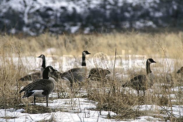 ec2948-08LE : Oie, Jackson, Wyoming.  Amérique du nord, champ, oie, C02, C01 faune, voyage aventure (Usa).