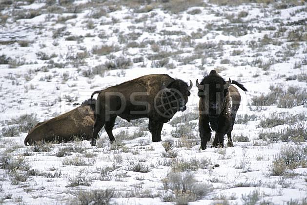 ec2948-18LE : Bison, Jackson, Wyoming.  Amérique du nord, bison, champ, herbe, C02, C01 faune, voyage aventure (Usa).
