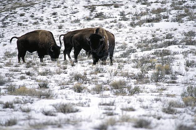 ec2948-26LE : Bison, Jackson, Wyoming.  Amérique du nord, bison, champ, herbe, C02, C01 faune, voyage aventure (Usa).