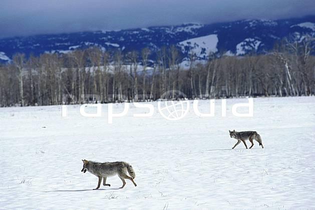 ec2951-24LE : Coyote- Jackson, Wyoming.  Amérique du nord, champ, loup, mauvais temps, coyote, C02, C01 faune, paysage, voyage aventure (Usa).