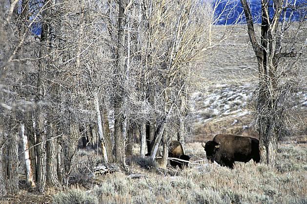 ec2951-32LE : Bison, Jackson, Wyoming.  Amérique du nord, bison, champ, C02, C01 arbre, faune, voyage aventure (Usa).