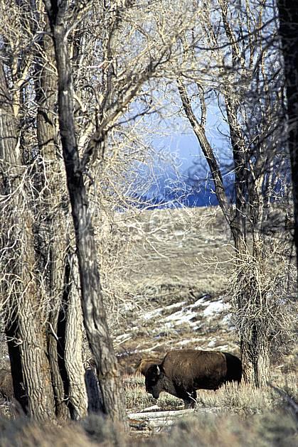 ec2951-36LE : Bison, Jackson, Wyoming.  Amérique du nord, bison, champ, C02, C01 arbre, faune, voyage aventure (Usa).