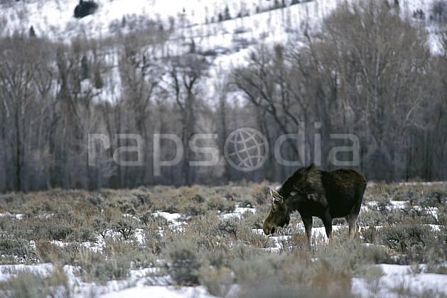 ec2952-09LE : Élan (moose), Jackson, Wyoming.  Amérique du nord, champ, élan, C02, C01 faune, voyage aventure (Usa).