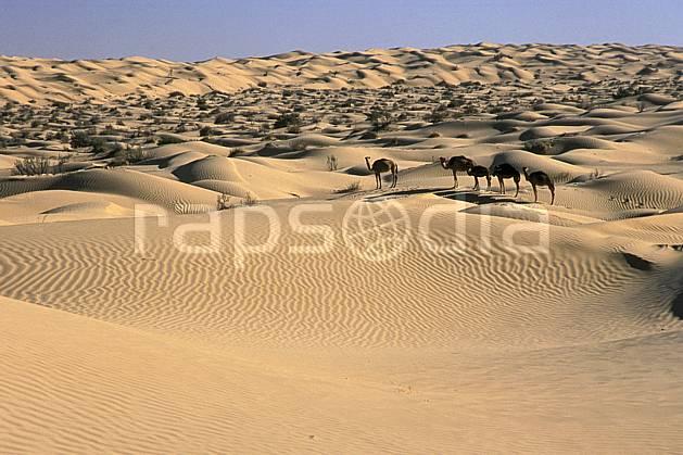 ec3060-01LE : Dromadaires dans le désert.  Afrique, Afrique du nord, dune, C02, C01 désert, faune, paysage, voyage aventure (Tunisie).