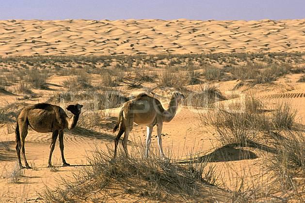 ec3073-13LE : Dromadaires.  Afrique, Afrique du nord, dune, C02, C01 désert, faune, voyage aventure (Tunisie).