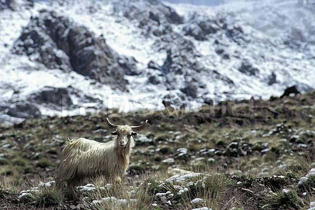 ec3148-35LE : Trek Maroc.  Afrique, Afrique du nord, chèvre, C02, C01 faune, moyenne montagne, voyage aventure (Maroc).