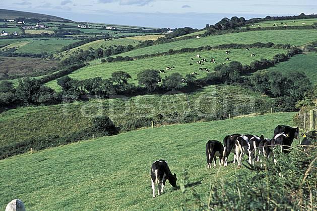 ec3173-27LE : Paysage d'Irlande.  Europe, CEE, champ, campagne, vache, C02, C01 arbre, faune, voyage aventure (Irlande).