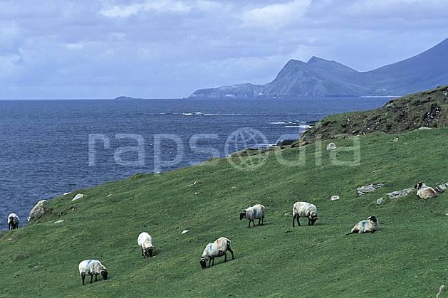 ec3175-19LE : Paysage d'Irlande.  Europe, CEE, mouton, C02, C01 faune, mer, voyage aventure (Irlande).