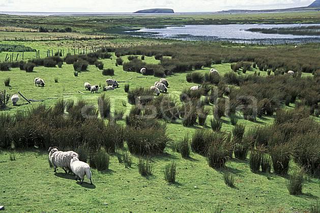 ec3175-35LE : Paysage d'Irlande.  Europe, CEE, mouton, C02, C01 faune, voyage aventure (Irlande).