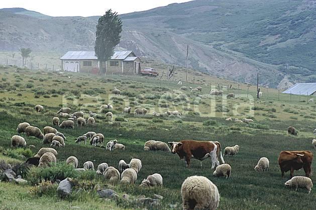 ec3187-19LE libre de droits Patagonie, Amérique du sud, Amérique Latine, Amérique, mouton, vache, C02, C01, environnement, faune, habitation, moyenne montagne, paysage, voyage aventure (Argentine).