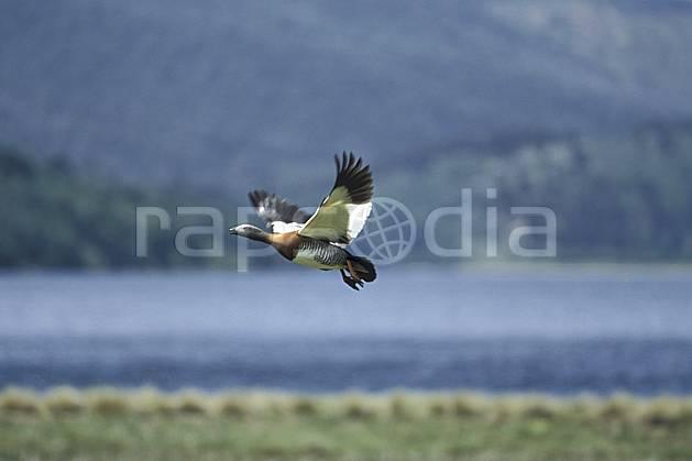 ec3188-05LE : Patagonie.  Amérique du sud, Amérique Latine, Amérique, oiseau, C02, C01 faune, lac, voyage aventure (Argentine).