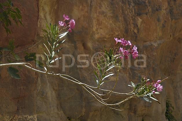 ed070866LE libre de droits Lauriers roses dans le canyon de Gweir, Moyen Orient, fleur, C02, désert, flore, voyage aventure (Jordanie).