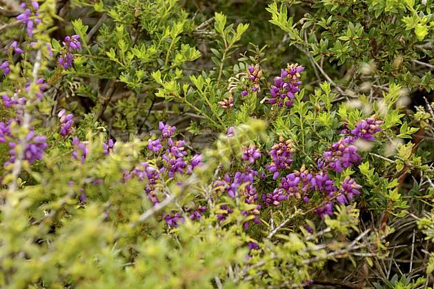 ed071994LE : Fleurs de bruyère, Donegal.  Europe, CEE, fleur, C02 flore, forêt, gros plan, voyage aventure (Irlande).
