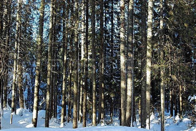 fa050546LE : Forêt d'épicéas. Bavière.  Europe, CEE, épicéa, tronc, C02, C01 arbre, flore, forêt, textures et fonds (Allemagne).