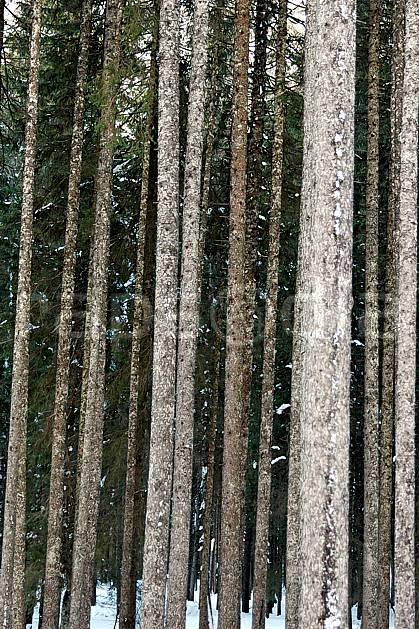 fa050583LE : Forêt d'épicéas. Bavière.  Europe, CEE, épicéa, tronc, C02, C01 arbre, flore, forêt, textures et fonds (Allemagne).