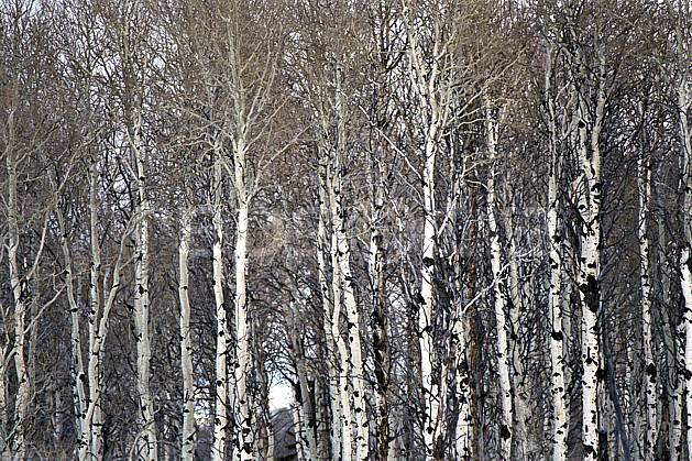 fa2952-05LE : Arbre, Jackson Hole, Wyoming.  Amérique du nord, C02, C01 arbre, forêt, textures et fonds (Usa).
