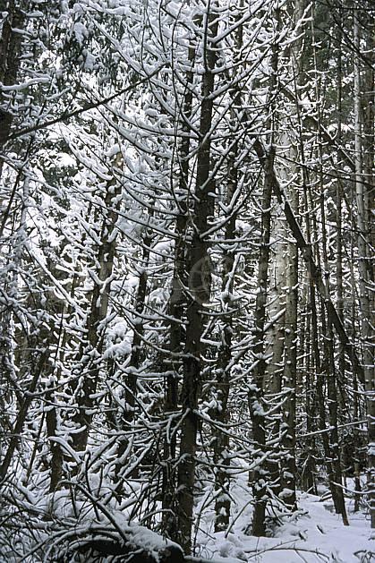 fa3133-18LE : Forêt enneigée.  Europe, CEE, C02, C01 arbre, forêt, textures et fonds (France).