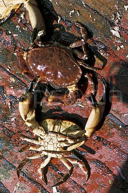 hc0165-21LE : Crabes, Bretagne. pêche Europe, CEE, loisir, C02, C01 faune, mer (France).
