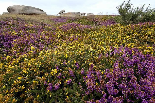 hd055474LE : Genêts et Bruyère en Bretagne.  Europe, CEE, fleur, genêt, bruyère, lande, C02, C01 flore, mer, paysage (France).