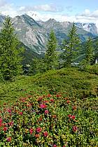 Rhododendrons, Alpes, ref aa041257LE