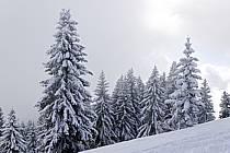 Sapins enneigés, Le Jaillet - Snowy trees, Le Jaillet, ref aa090009LE