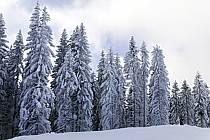 Sapins enneigés, Le Jaillet - Snowy trees, Le Jaillet, ref aa090014LE