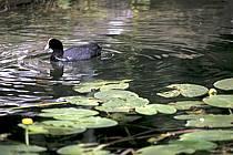 Poule d'eau dans les nénuphars, Lac d'Annecy, Haute-Savoie, ref ac0296-05LE