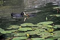 Poule d'eau et son jeune dans les nénuphars, Lac d'Annecy, Haute-Savoie, ref ac0296-06LE