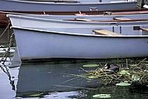 Nid de poule d'eau dans les nénuphars, Lac d'Annecy, Haute-Savoie, ref ac0296-10LE