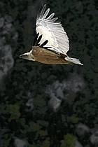 Vulture, Verdon, Var, ref ac042188GE