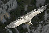 Vulture, Verdon, Var, ref ac042189GE