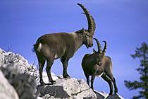 Ibex, Sous Dine, Haute-Savoie, Alpes, ref ac1069-23GE