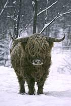 Scotland cow, ref ac3105-21GE