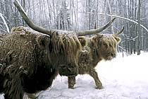 Scotland cow, ref ac3105-27GE