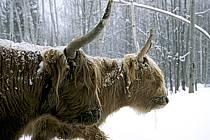 Scotland cow, ref ac3105-29GE