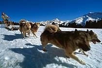 Chiens de traineau, Avoriaz, Haute-Savoie, ref di2623-10GE