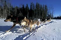 Traineau à chiens, Parc de la Mauricie, ref di3096-04GE