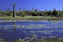 Baobab trees and water lily, Morondava, ref ea2270-04GE