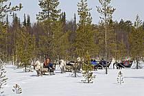 Promenade en traineau à rennes, Vuotso, Laponie, Markku Nikodemus, ref eb061582GE