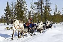Traineau à rennes / Sledging reindeer, Vuotso, Laponie, Markku Nikodemus, ref eb061587GE