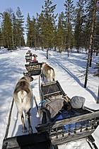 Promenade en traineau à rennes, Vuotso, Laponie, ref eb061655GE