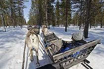 Promenade en traineau à rennes, Vuotso, Laponie, ref eb061656GE