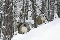 Mule dear dans la neige, Jackson Hole, Wyoming - Mule dear in the snow, Jackson Hole, Wyoming, ref ec080313LE