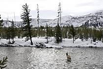Elk dans la Madison River, Yellowstone National Park, Wyoming, Montana - Elk in the Madison River, Yellowstone National Park, Wyoming, Montana, ref ec080844LE